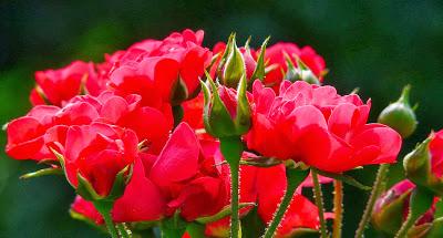 Rosas muy bonitas día del amor y la amistad